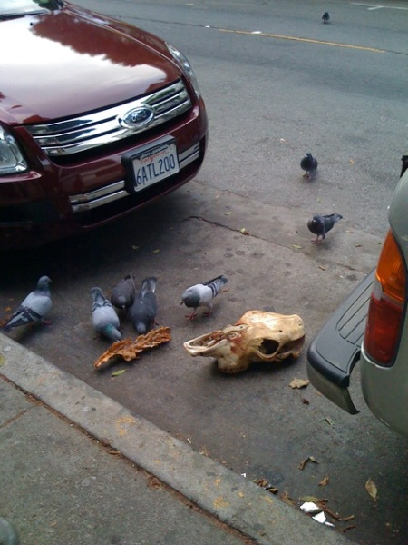 pigeons_eating_a_horse_skull2